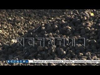 Сотни тонн картофеля сгноили на опушке леса в Шатковском ...